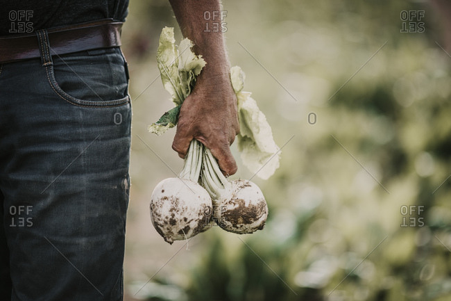 Farmer holding turnip vegetable while standing at farm