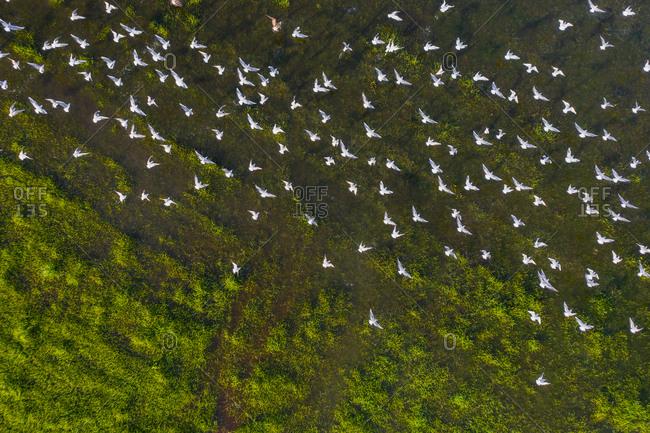 Aerial view of seagulls in a marshland part of estuary of river Vouga, in Ria de Aveiro, Bioria, Salreu, Estarrega, Aveiro, Portugal