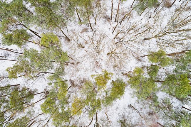 Abstract aerial view of trees in winter with snow, Buurserzand, Twente, Overijssel, Netherlands