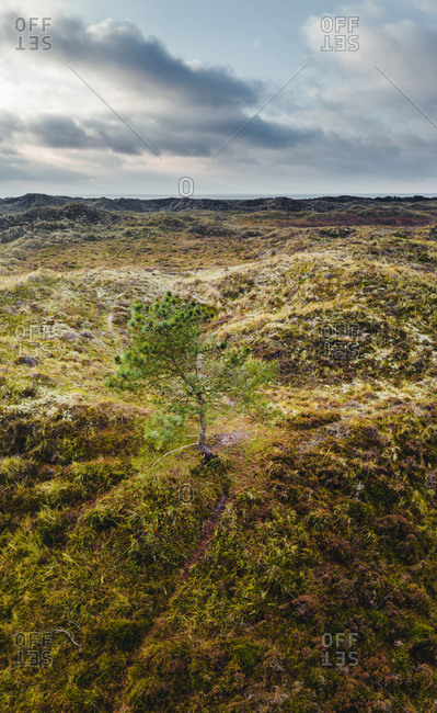 Aerial view of a tree in the dunes on the island Terschelling, Friesland, The Netherlands.