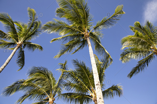 Low angle view of palm trees under blue sky in Hawaii