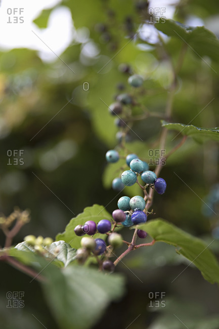 Colorful porcelain berries on an Amur peppervine close up