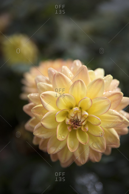 Extreme close up of a yellow dahlia flower