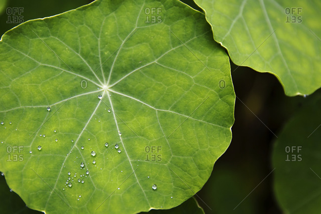 Vibrant green nasturtium leaves with water droplets
