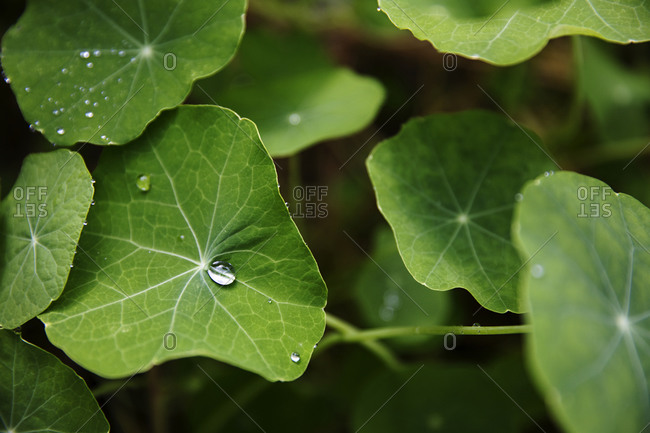 Green nasturtium leaves with droplets of water