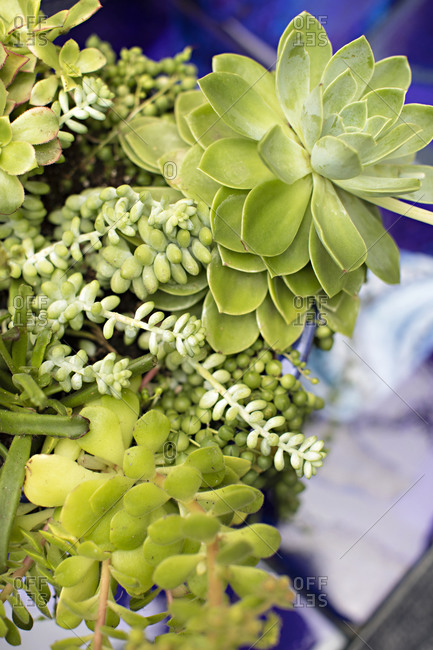 Green succulent plants in an arrangement on an outdoor table