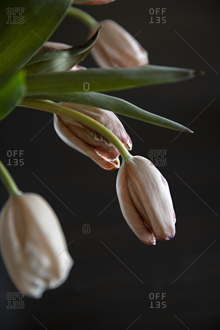 Pale pink tulips in front of dark background