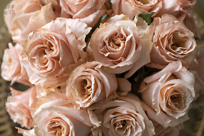 Pale pink roses close up