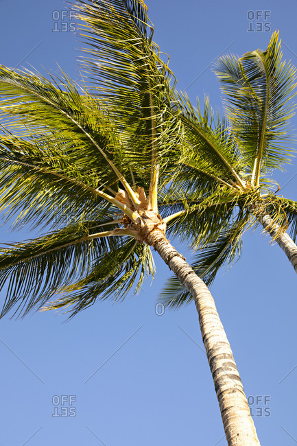 Low angle view of two palm trees under blue sky in Hawaii