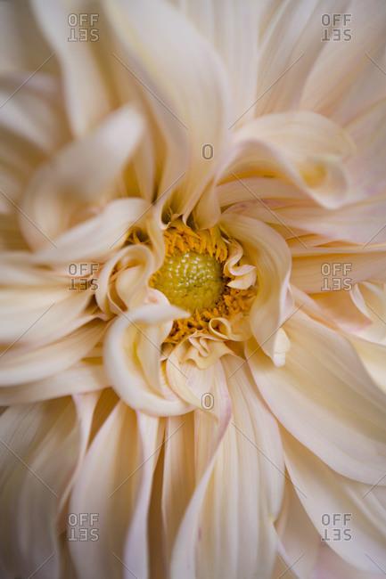 Extreme close up of a white dahlia flower
