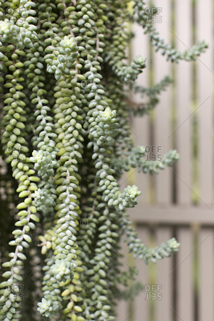 Burro's-tail succulent plant hanging outdoors