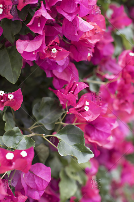 Vibrant pink flowers growing on a bush