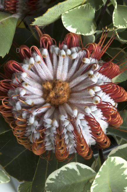 Banksia coccinea also known as the scarlet banksia flower
