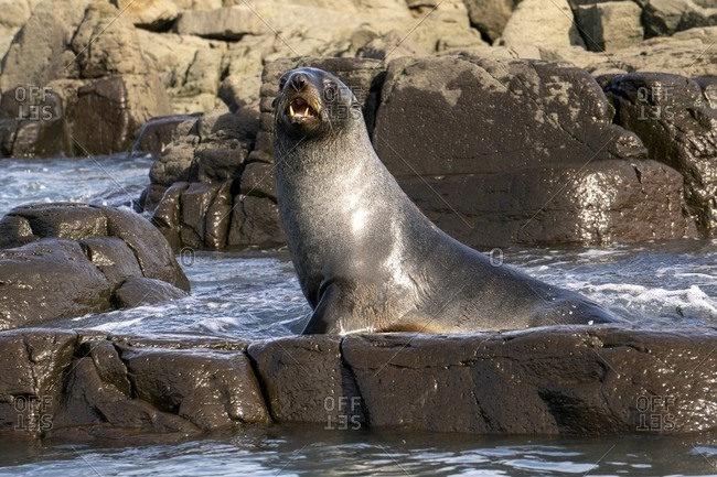 Antarctic fur seal (Arctocephalus gazella) on land mass.