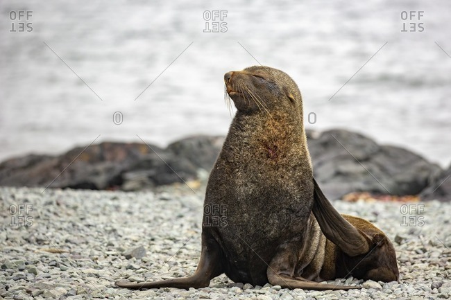 Antarctic fur seal (Arctocephalus gazella) on rocky coast.