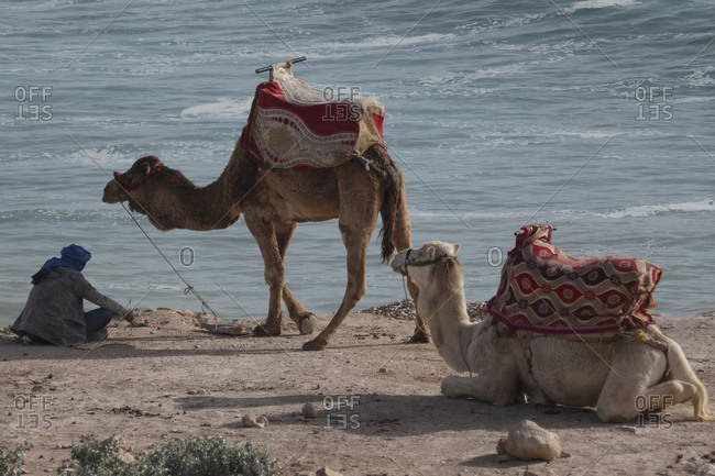 Man resting with camels on ocean beach, Taghazout, Morocco