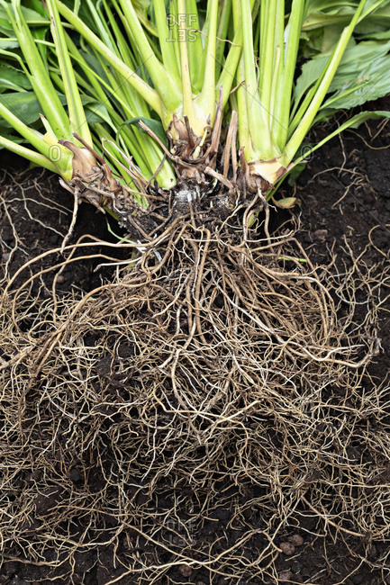 Abundant roots of plants laid out together