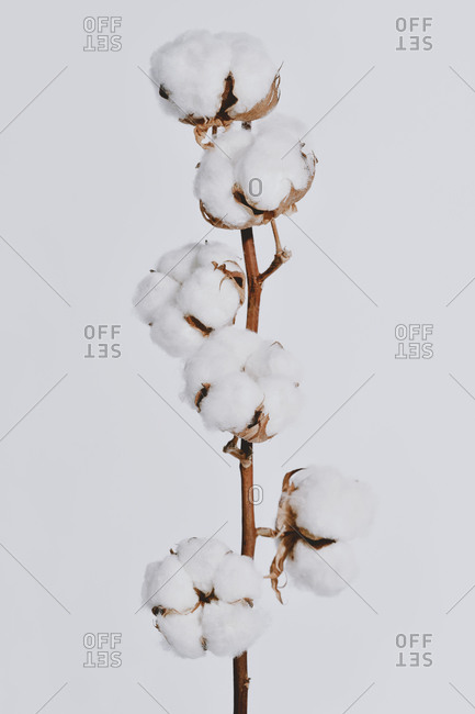 Fluffy white cotton bolls growing on plant branch