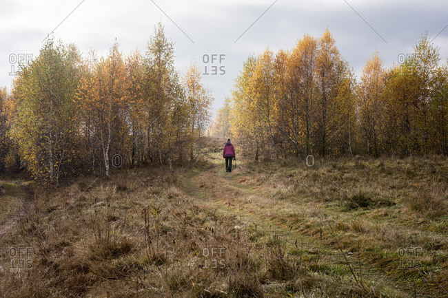 Landscape with adult woman hiking among yellow leafed birches