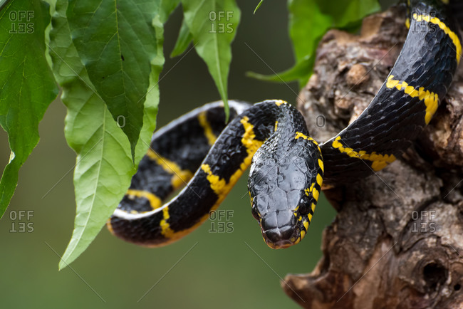 The gold- ringed cat snake in defensive mode ( Boiga dendrophilia )