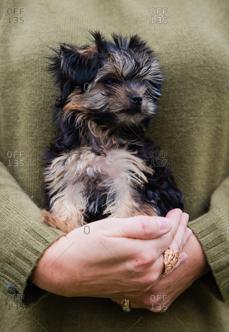 Close up of the hands of a woman holding a cute morkie puppy.