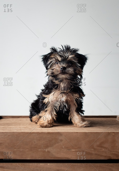 Portrait of a cute teacup morkie puppy sitting on wooden crate.