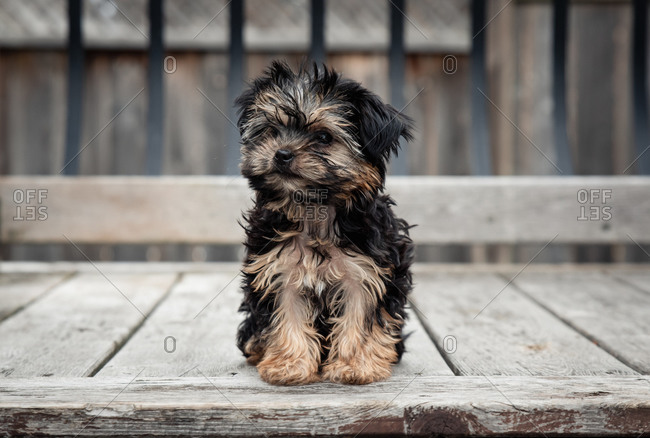Cute teacup morkie puppy sitting outside on a wooden deck.