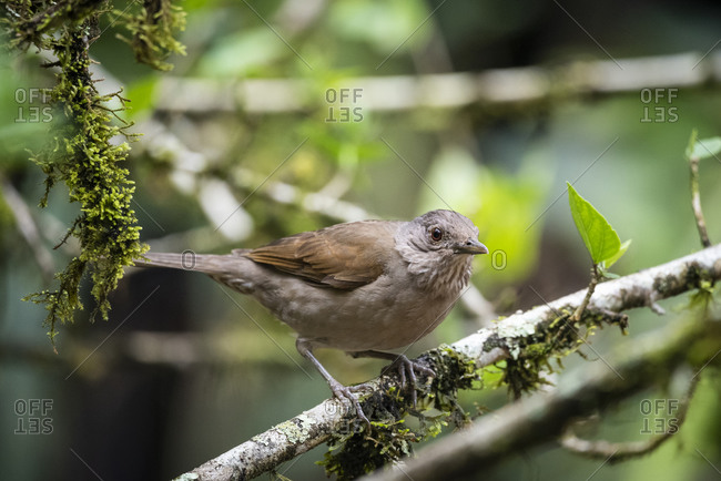 Beautiful brown tropical bird on tree branch in green rainforest