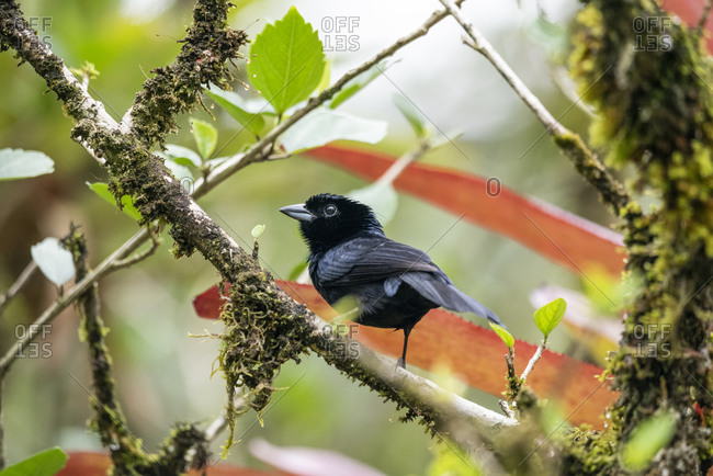 Beautiful black tropical bird on tree branch in green rainforest
