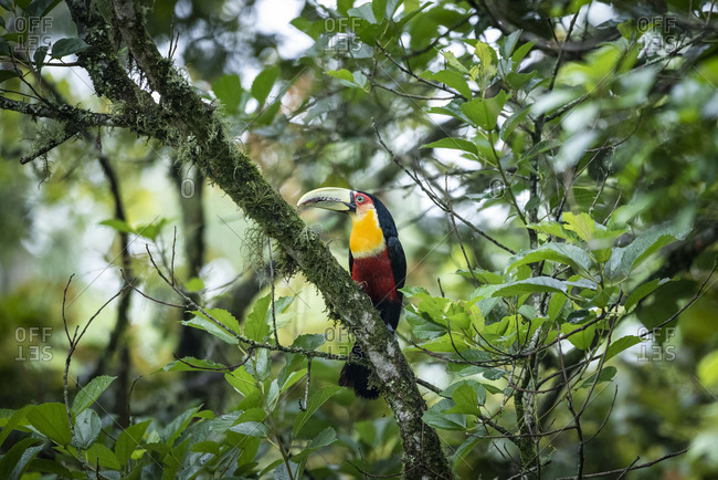 Beautiful colorful tropical toucan on tree branch in green rainforest