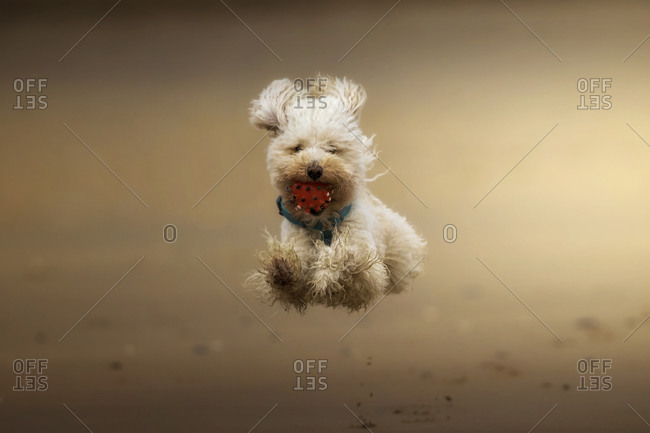 Happy dog jumping in the beach with a ball in the mouth.
