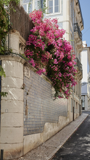 bougainvillae flowers on Lisbon city street