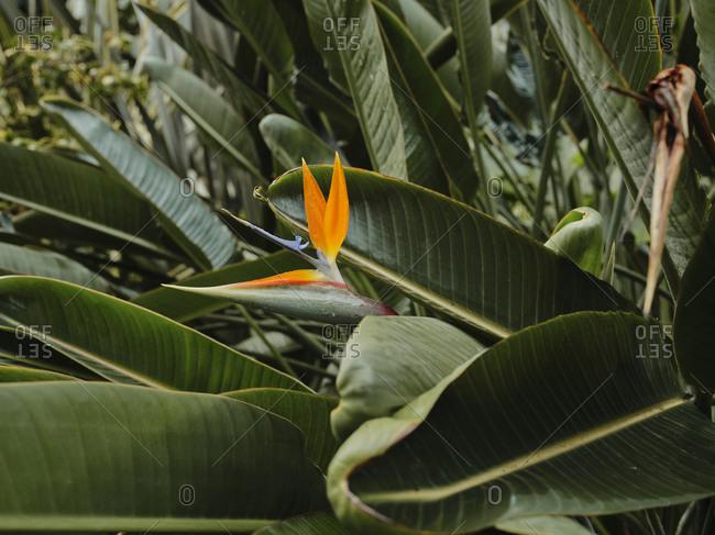 Close up of Bird of paradise flower