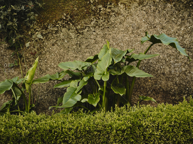 Calla Lillies and hedge against wall