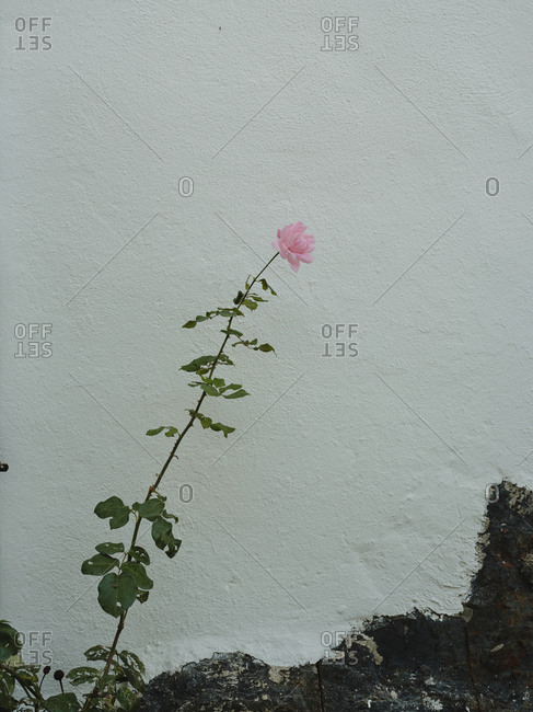 Pink rose against white wall