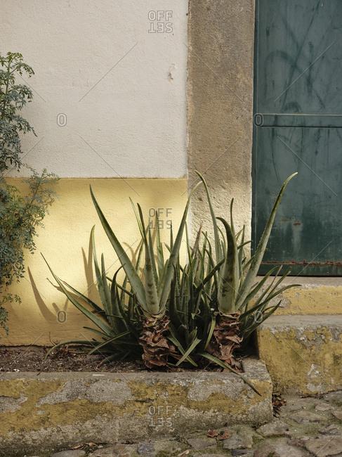 Aloe vera plant along cobble stone street
