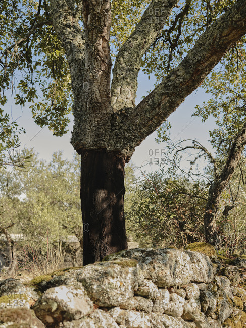 Harvested cork tree in Portugal