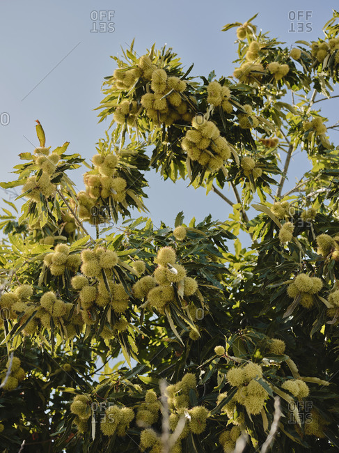 Portuguese chestnut tree in countryside