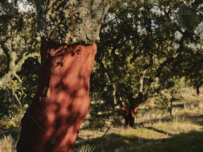 Close up of harvested cork tree in Portugal