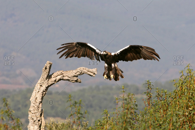 Spanish Imperial Eagle adult female flying with the first light of day