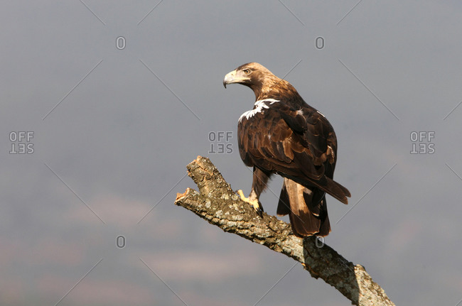 Spanish Imperial Eagle adult female with the first light of day