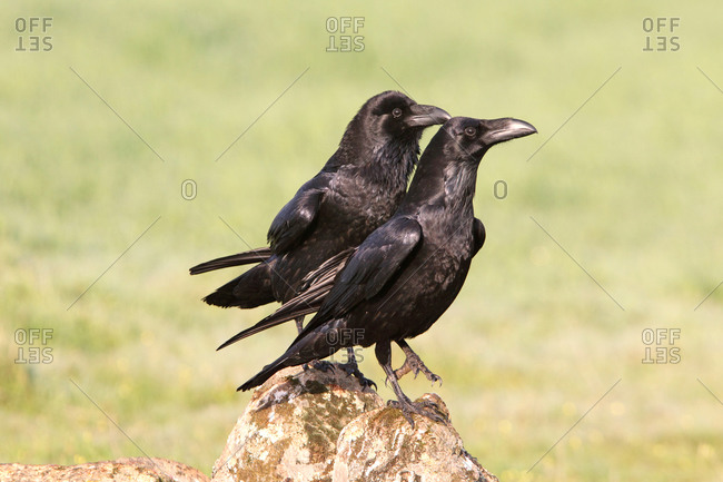 Common raven male and female with the first lights of day