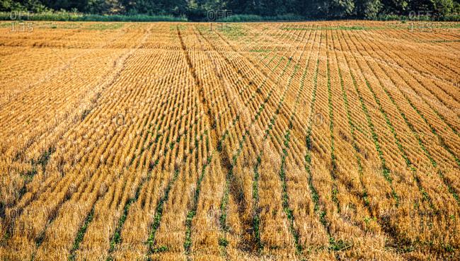 Soybeans Growing on a Kansas farm