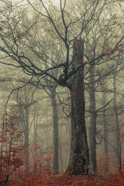 Misty autumn forest - Rainy autumn day in a beech forest