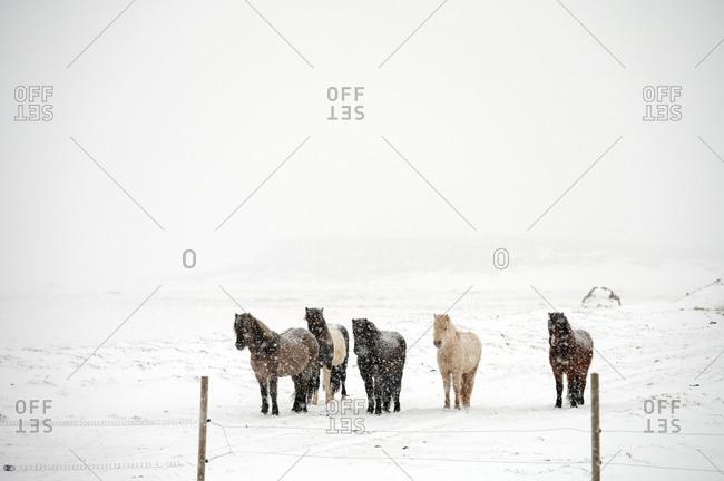 Herd of horses on farm in winter