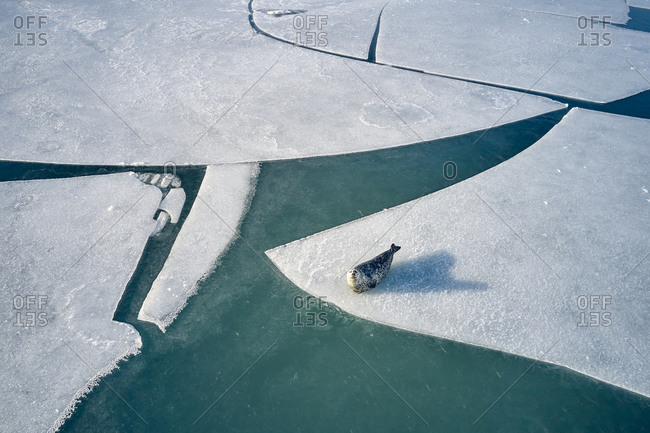 Curious seal on ice floe in winter