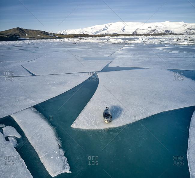 Seal lying on ice floe near shore