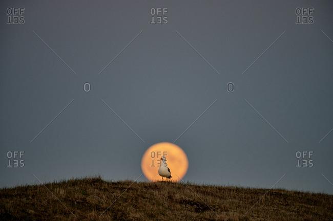 Seagull on hill against sunset sky