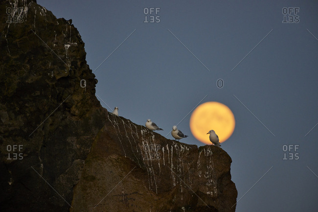 Flock of birds on cliff in evening