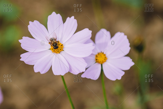 Flower with a bee in a blur background in the middle of the meadow